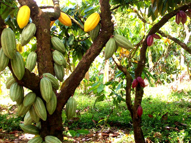 Какао-дерево фото